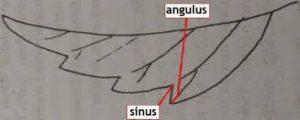 Gambar. 1. Sinus dan Angulus pada daun